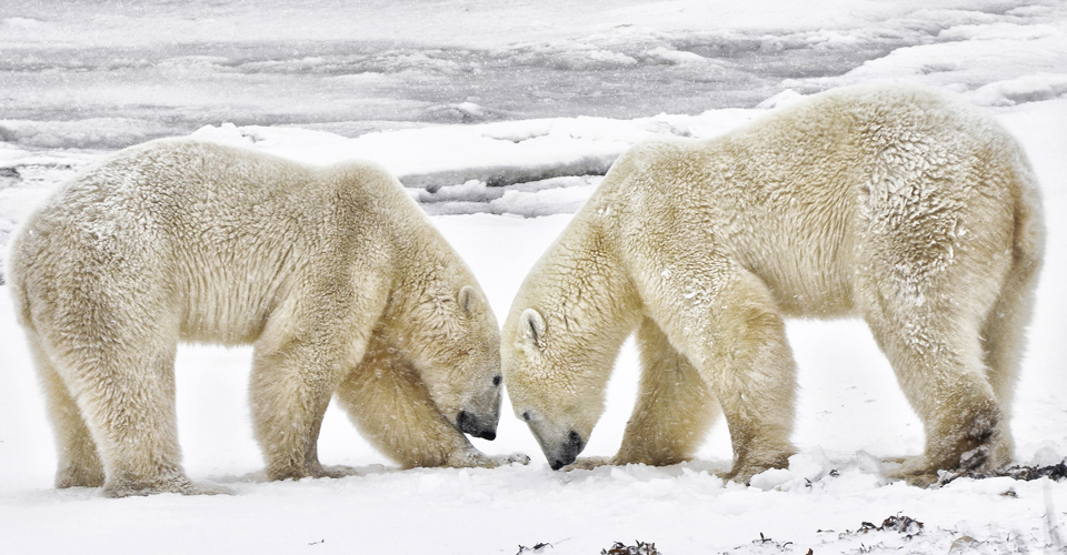 Polar Bear Dream