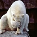 Confessions of a Polar Bear